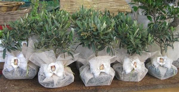 Le nostre bomboniere bonsai sono meravigliose idee regalo for Bonsai di ulivo