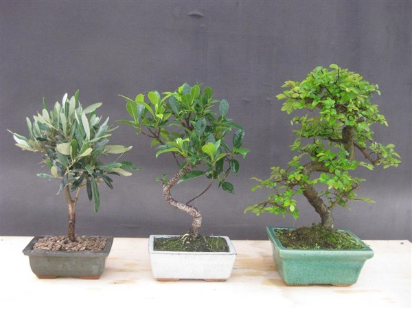 Le nostre bomboniere bonsai sono meravigliose idee regalo.